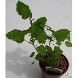 Lemon Balm. Fragrant Culinary Herb Plant