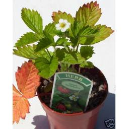 Strawberry, Alpine. Culinary Herb Plant