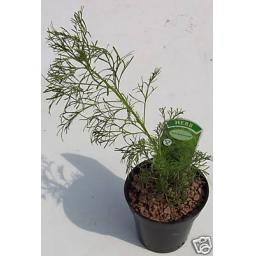 Lads Love, Southernwood, Fragrant Herb Plant
