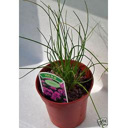 Chives. Culinary Herb Plant