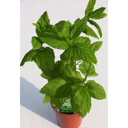 Mint, Spearmint. Fragrant & Culinary Herb Plant