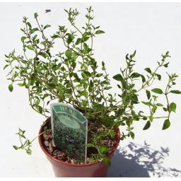 Thyme,Common. Culinary Herb Plant