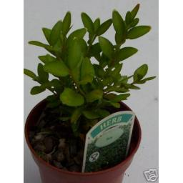 Box Hedging Herb Plant