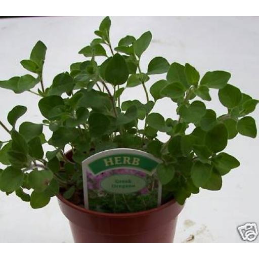 Greek Oregano. Fragrant Culinary Herb Plant