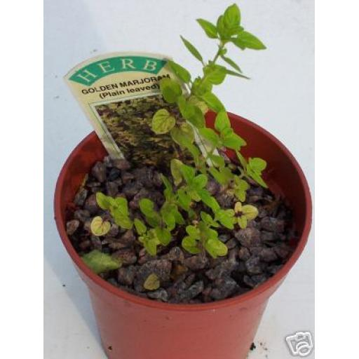 Marjoram, Golden. Fragrant Culinary Herb Plant